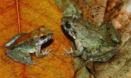 fanged frogs