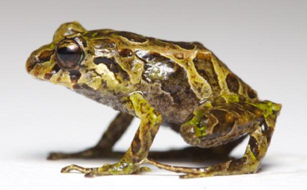 Mutable Rain Frog