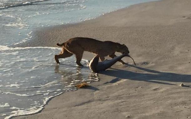 Bobcat Shark Ocean