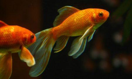 Goldfish Invade Boulder Colorado
